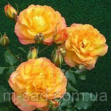 Роза Сахара
