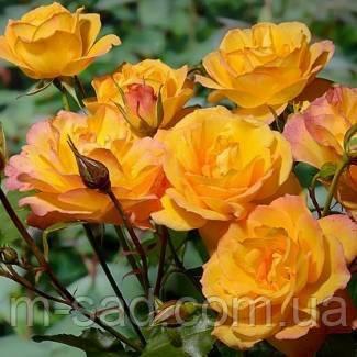Роза Сахара, фото 2
