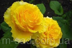Роза Сфинкс, фото 2