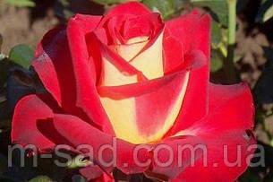 Саженцы чайно-гибридных роз Френдшип, фото 2