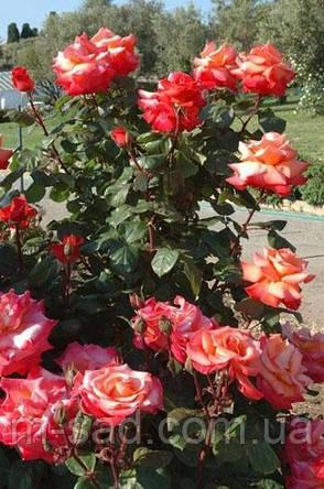 Роза Христофор Колумб, фото 2
