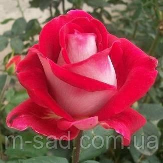 Роза Шейла, фото 2