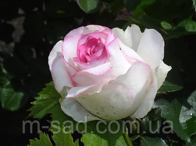 Троянда Дольче Вита 2000