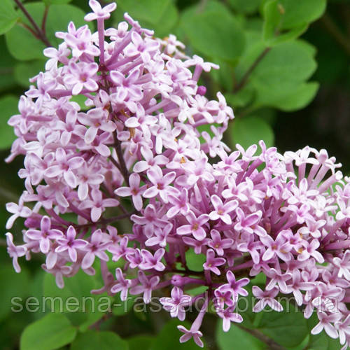 Сирень обыкновенная Мисс Ким  (контейнер 3 л, размер растения 25-30см)