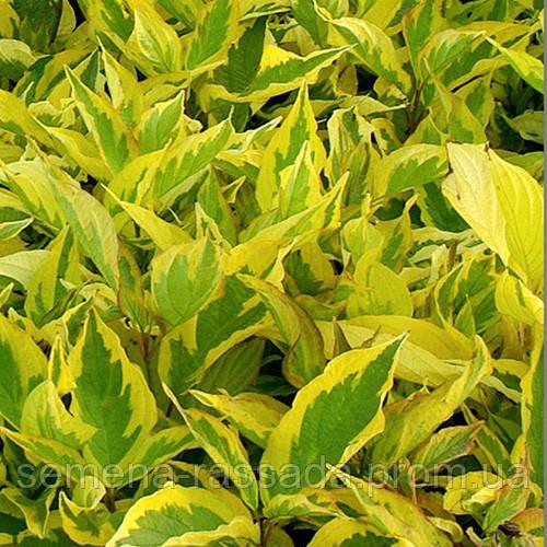Дерен белый Спет  (контейнер 3 л, размер растения 20-25см)