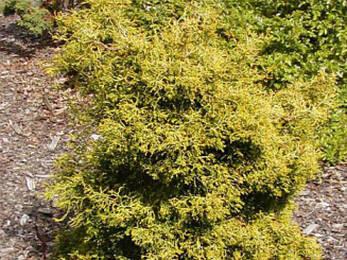 Кипарисовик тупий Tsatsumi Gold 2 річний, Кипарисовик тупой Тсатсуми Голд, Chamaecyparis obtusa Tsatsumi Gold, фото 2