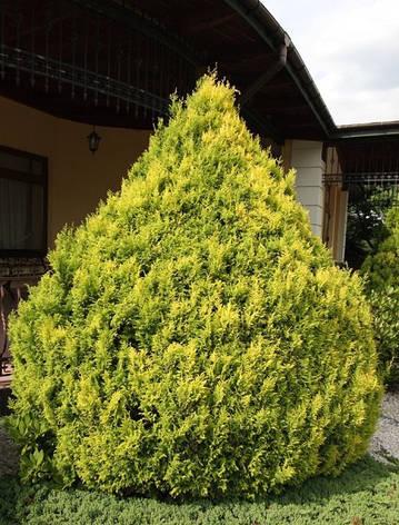 Кипарисовик горохоплідний Plumosa Aurea 2річний, Кипарисовик горохоплодный Плюмоза Ауреа Сhamaecyparis pisifer, фото 2