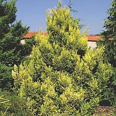 Кипарисовик горохоплідний Plumosa Aurea 2річний, Кипарисовик горохоплодный Плюмоза Ауреа Сhamaecyparis pisifer, фото 3