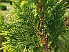 Кипарисовик горохоплідний Plumosa Aurea 2річний, Кипарисовик горохоплодный Плюмоза Ауреа Сhamaecyparis pisifer, фото 4