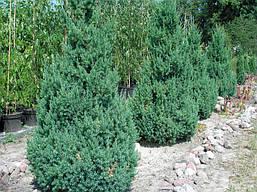 Ялівець китайський Stricta 2 річний, Можжевельник китайский Стрикта, Juniperus chinensis Stricta, фото 2