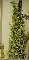 Бересклет Форчуна Emerald 'n' Gold 2 річний, Бересклет Форчуна Эмераль энд Голд, Euonymus Emerald 'n' Gold, фото 2