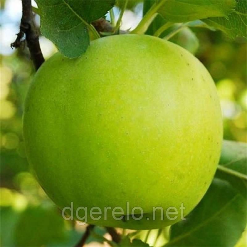 Саженцы яблони Мутсу (зима) 2х летний
