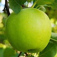 Саженцы яблони Мутсу (зима)