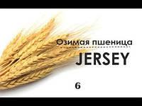 """Семена озимой пшеницы """"Джерси"""""""