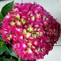Горшечное растение Гортензия
