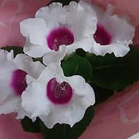 Горшечное растение Глоксиния