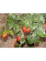 "Лимон Аркобалено (C. meyerii x c. sinensis ""doppio sanguigno"") 20-25 см. Комнатный"