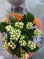 Горшечное растение Каланхоэ дикоративноцветущий
