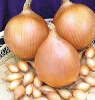 Лук голландский сорт Центурион ранний, для для осеннего и весеннего посева