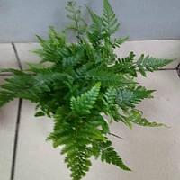 Горшечное растение Папоротник -( паук )Давалия