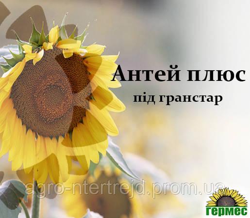 Семена подсолнечника Антей+ (Стойкий к гранстару)