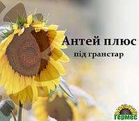 Семена подсолнечника Антей+ (Стойкий к гранстару), фото 1