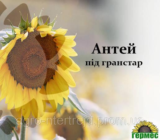 Семена подсолнечника Антей (Стойкий к гранстару)