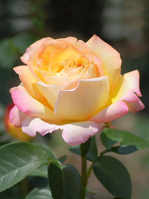 Роза чайно-гибридная Глория (Пис)