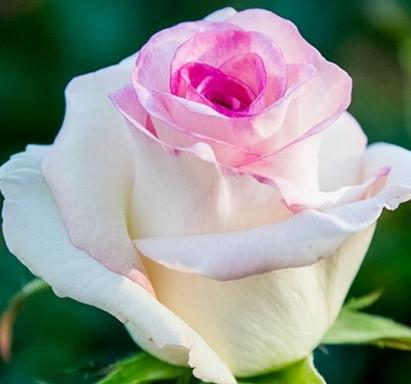 Роза чайно-гибридная Дольче Вита нова
