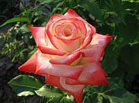 Роза чайно-гибридная Императрис Фарах