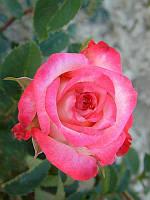 Роза чайно-гибридная Инджой
