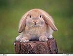 Вирощування кроликів-акселератів.