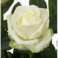 Роза чайно-гибридная Маруся