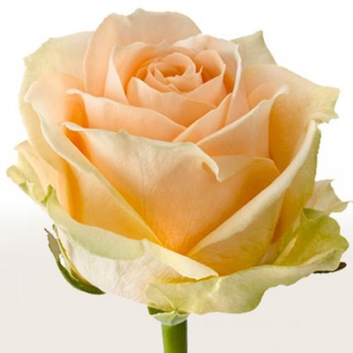 Роза чайно-гибридная Пич Аваланж NEW