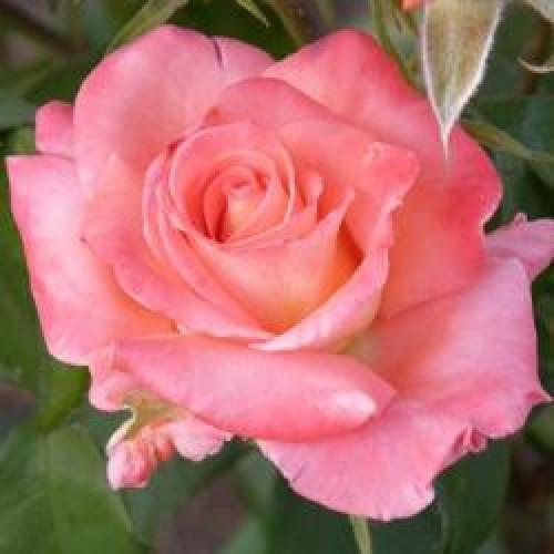 Роза чайно-гибридная Рафаэлла
