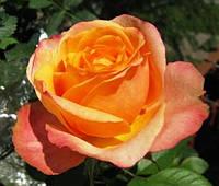 Роза плетистая Полнолуние
