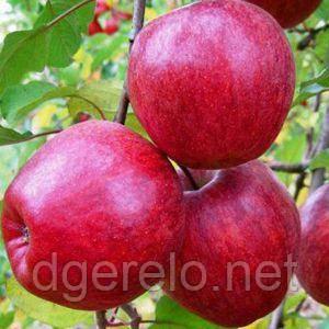Яблоня Моди (зимний)