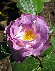 Роза Блю фо Ю (Blue for You) Флорибунда, фото 3