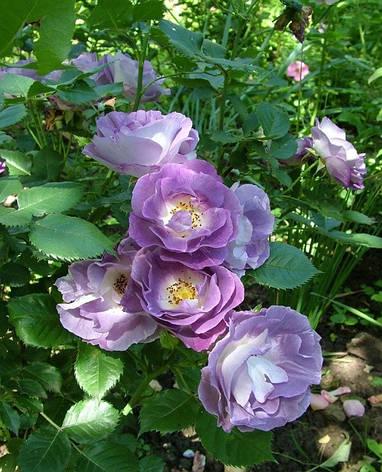 Роза Блю фо Ю (Blue for You) Флорибунда, фото 2