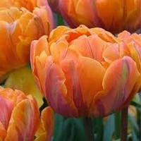 Тюльпан 3 шт  Orange Princess  Нідерланди розмір 12+, фото 1