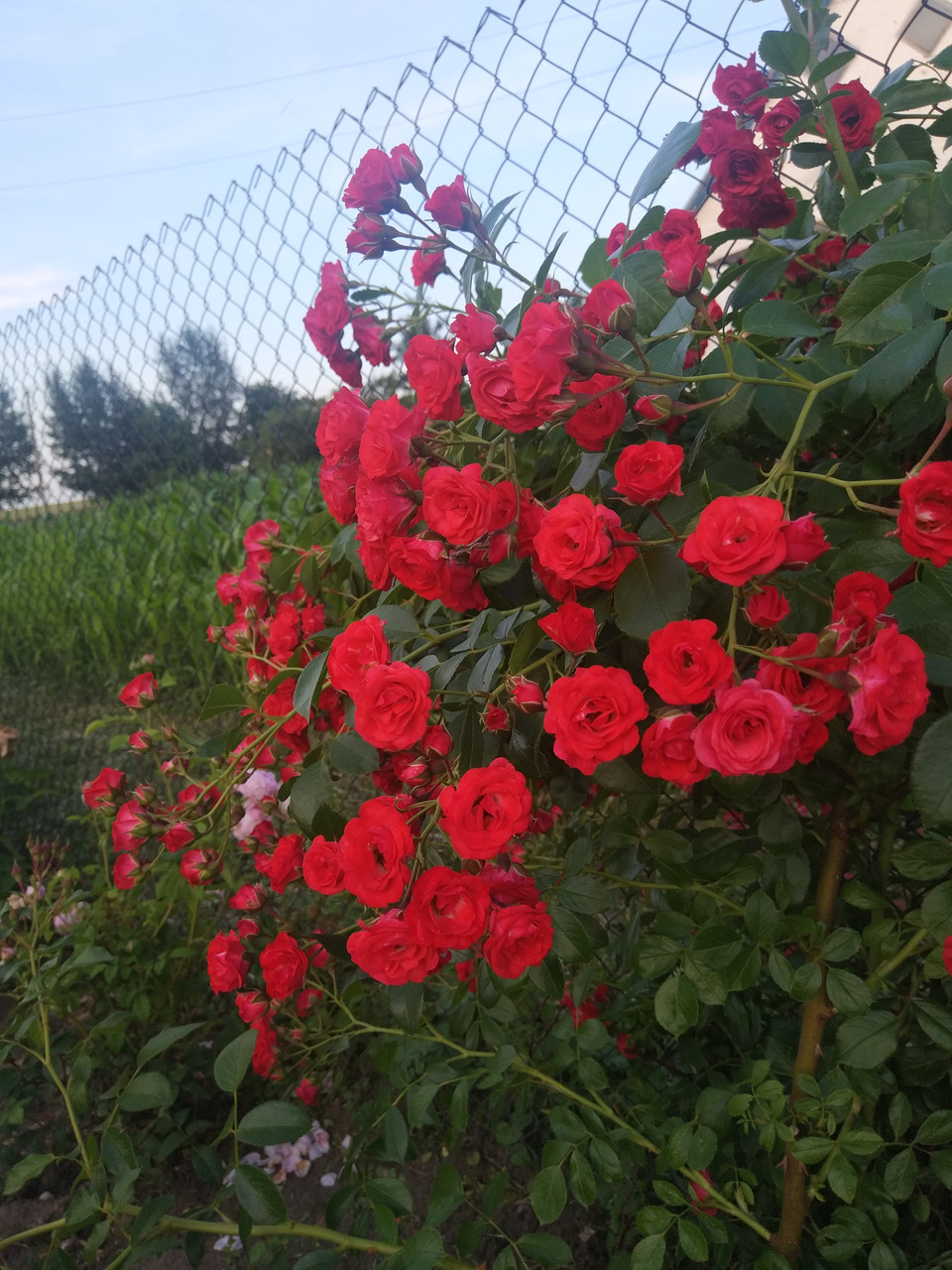 Роза Ред Фейри (Scarlet Meillandecor) Почвопокровная