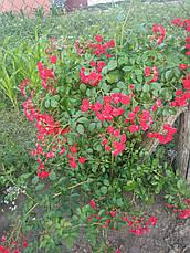 Роза Ред Фейри (Scarlet Meillandecor) Почвопокровная, фото 3