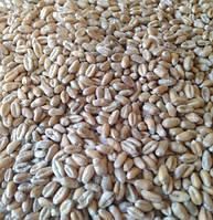 Пшеница озимая Мулан (1 репродукция)