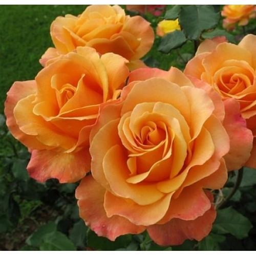 Роза флорибунда Лолита