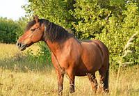 Лошадь рабочая, конь, мерин, жеребец