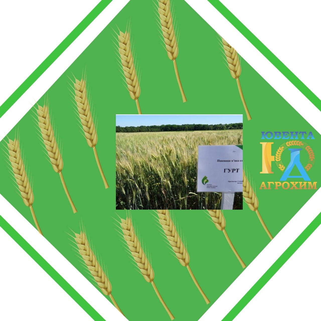 Семена озимой пшеницы Гурт (суперэлита)