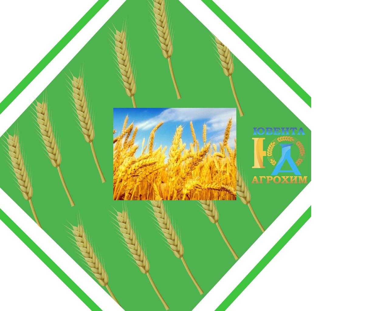 Семена озимой пшеницы Виген (Елита)