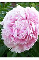 Корневища Пион Древовидный Светло-розовый (Yin hong qiao dui ) 2 шт