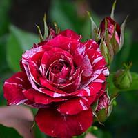 Роза бордюрная Арроу Фолиес