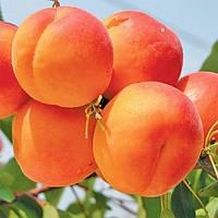 Саженцы абрикоса Киото (созревание-середина Июля)